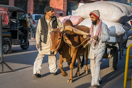 Photo of working bullock or bull used for animal labour pulling a heavy cart on the road with two men in the city of Bikaner in India, 2017