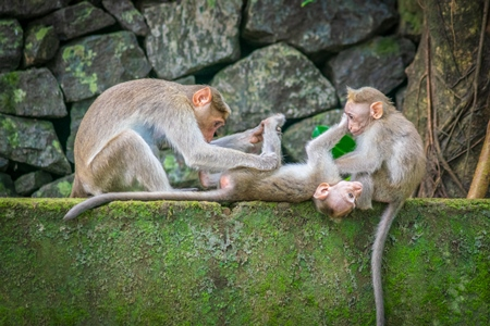 Three cute macaque monkeys sitting on a green wall grooming each other with stone wall background