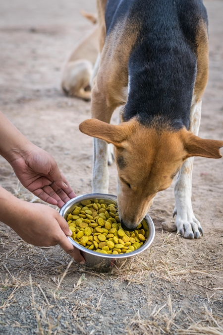 Animal rescue volunteer feeding stray Indian street dog, India