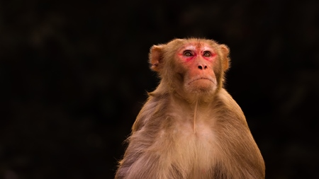 Photo of one Indian macaque monkey with dark background in India