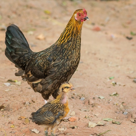 Mother chicken or hen with chick in a village in rural Bihar, India