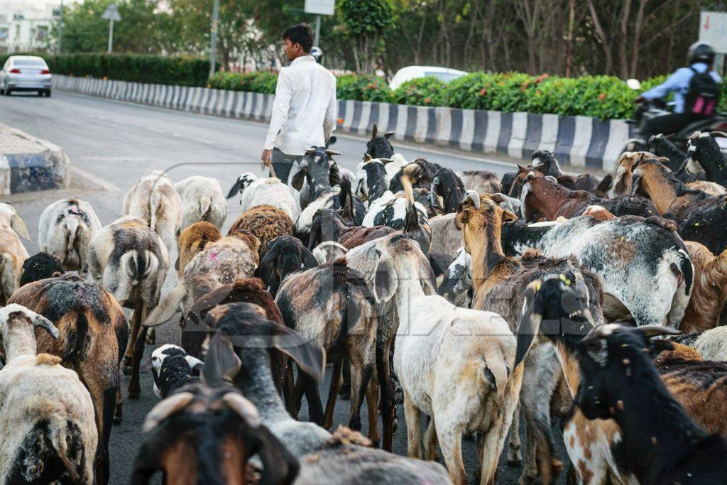 Herd of goats and sheep being led by farmer in an urban city street
