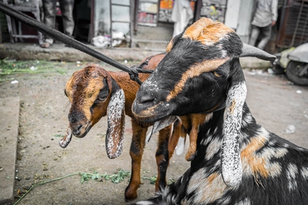 Photo of Indian goats tied up in urban city to be slaughtered for Eid festival in Maharashtra, India, 2017
