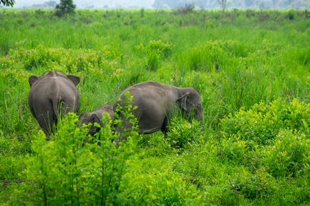 Indian elephants or Asian elephants in Kaziranga National Park in Assam in India