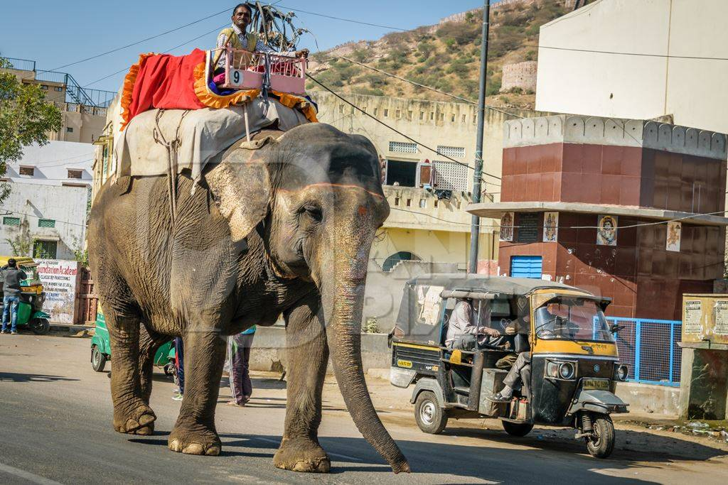 Elephant used for entertainment tourist ride walking on street in Jaipur