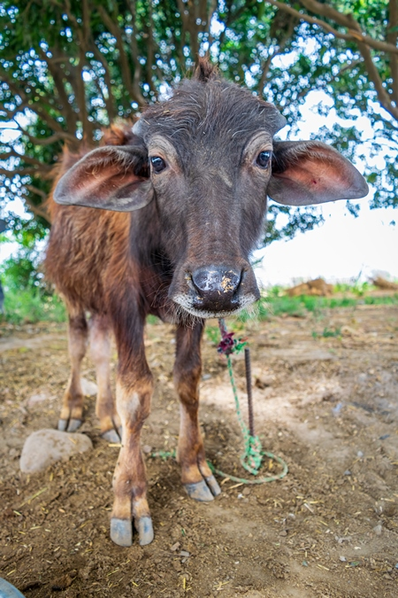 Farmed Indian buffalo calf on a buffalo dairy farm in a rural village in Uttarakhand, India, 2016