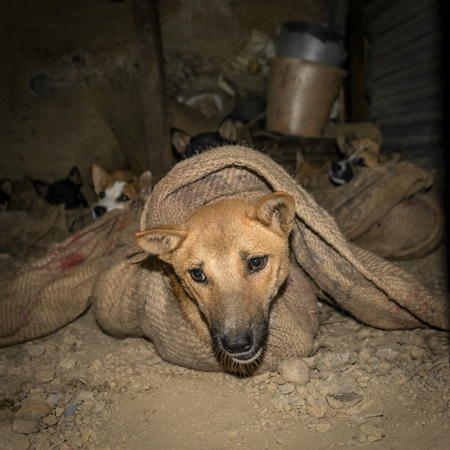 Dog in sack at a dog meat market waiting to be slaughtered and sold as dog meat