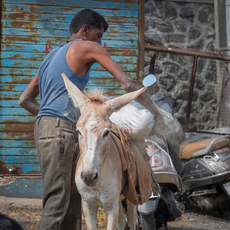 Working donkey with man used for animal labour to carry heavy sacks of cement in an urban city in Maharashtra in India