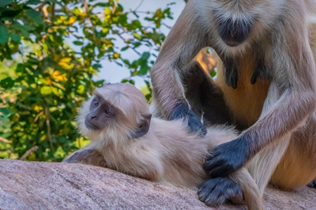 Indian gray or hanuman langur monkeys in the wild in Rajasthan in India
