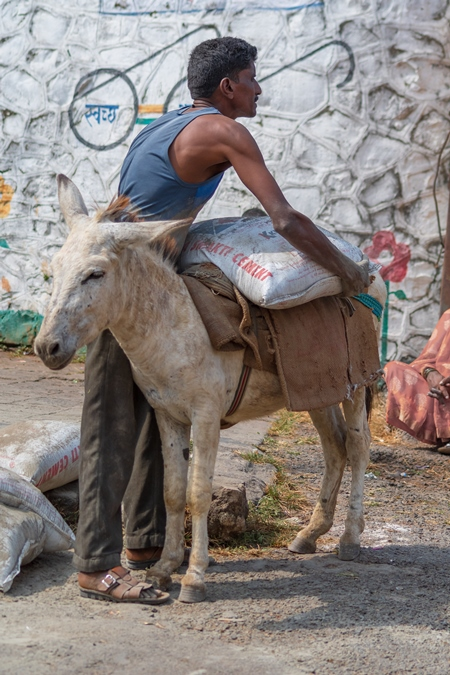 Man loading heavy sack onto working Indian donkey used for animal labour to carry heavy sacks of cement in an urban city in Maharashtra in India