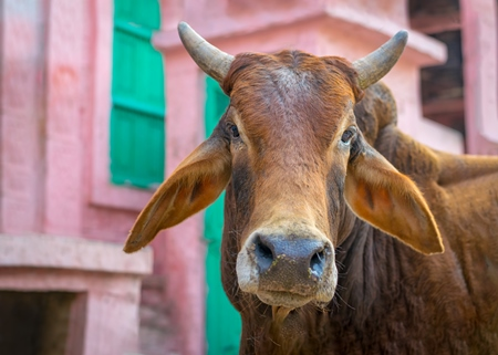 Indian street cow or bullock with horns in front of colourful pink wall background in the urban city of Bikaner, India