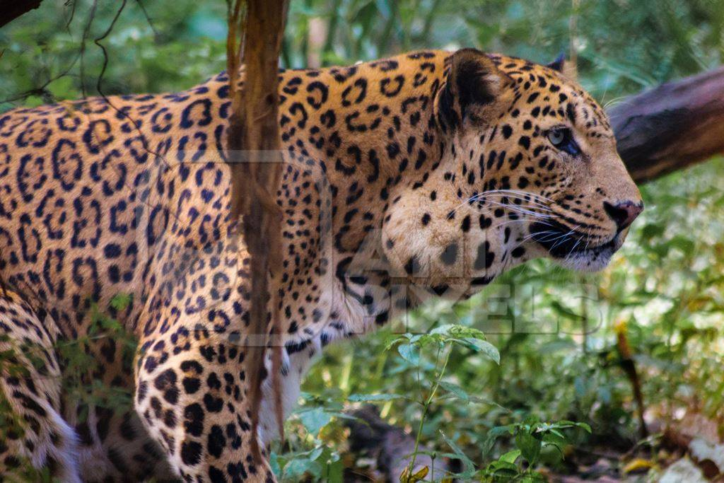 Leopard in captivity at Rajiv Gandhi Zoological Park zoo with large growth on side of face