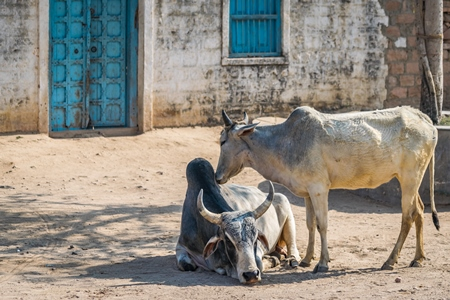 two grey Indian cows or bullocks grooming each other in the street with blue doors in rural Bishnoi village in Rajasthan, India, 2017