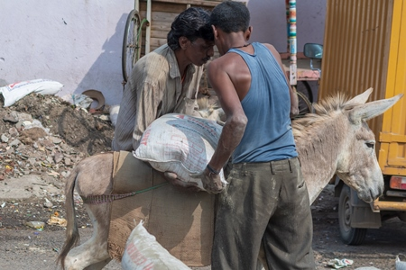 Two men loading working donkeys used for animal labour to carry heavy sacks of cement in an urban city in Maharashtra in India