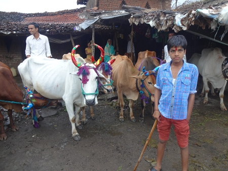 Working Indian bullocks or bulls decorated for Pola festival in Maharashtra, India celebrated by farmers by the worship of the bull