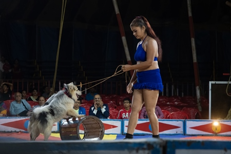 Dogs used as a performing circus animals with acrobat in the Golden Circus, Maharashtra, 2019
