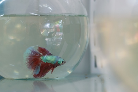 Siamese fighting fish or betta fish captive in fish bowl on sale as pets at a pet shop in a city in Maharashtra, 2020