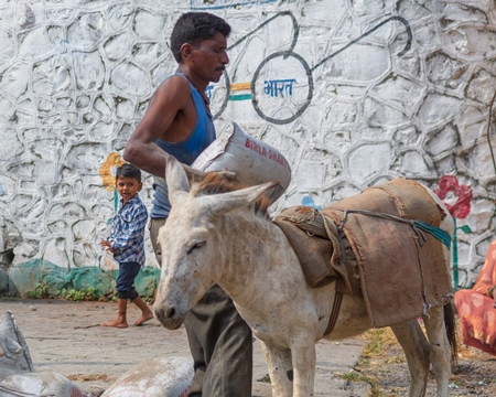 Man loading cement sack onto working donkeys used for animal labour to carry heavy sacks of cement in an urban city in Maharashtra in India