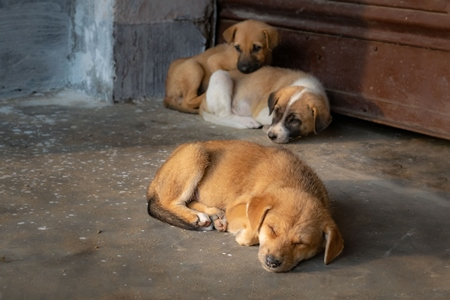 Litter of Indian stray puppies or street dog puppies dog, India