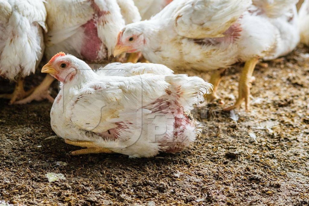White broiler chickens raised for meat on a large poultry broiler farm in Maharashtra in India