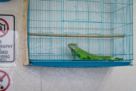 Exotic Iguana in cage on sale illegally as pet at Crawford pet market in Mumbai