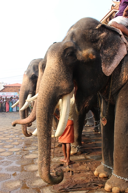 Line of elephants used for Hindu festival at a temple in Kerala