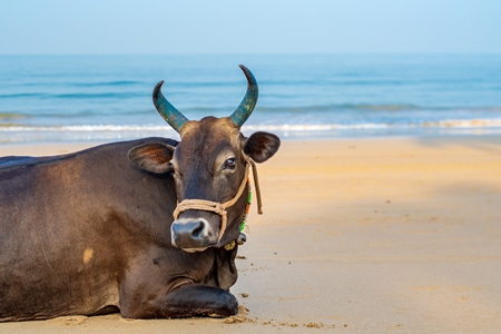 Indian cow or bull with large horns sitting on the beach in Maharashtra, India