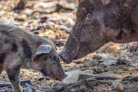 Mother pig and baby piglet feral Indian street pigs on a garbage dump in an urban city in India, 2016