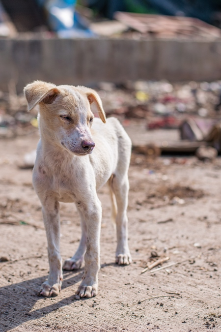Indian street or stray puppy dog in a slum area in an urban city in Maharashtra in India