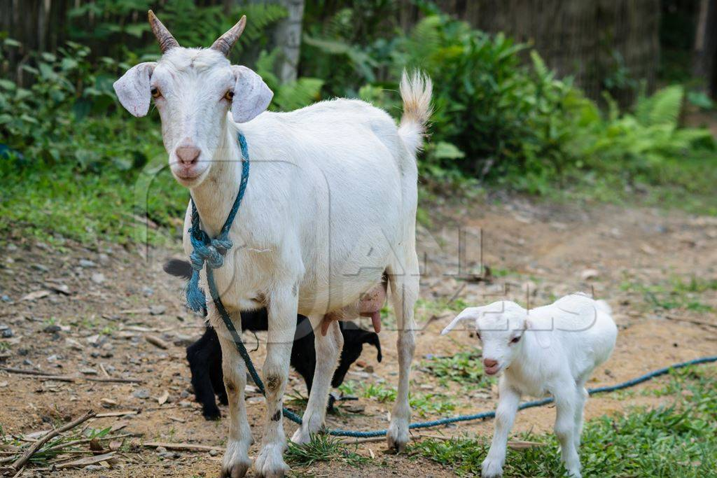 White mother goat with two baby goats in a village in rural Assam