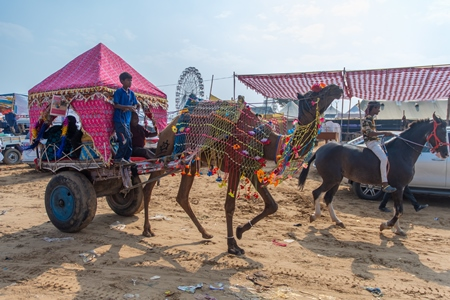 Indian camels harnessed to decorated carts to give tourist rides at Pushkar camel fair in Rajasthan in India