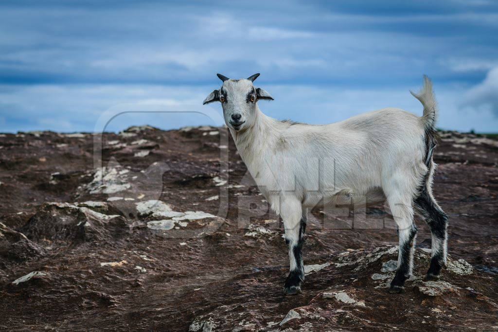 White goat standing on rocky surface with blue sky background