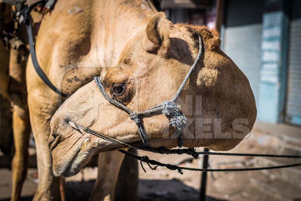 Close up of face of brown working camel in harness on city street in Bikaner in Rajasthan