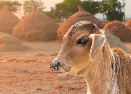 Composite image of cute Indian calf or baby cow in field