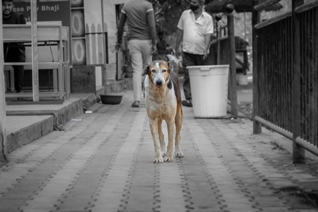Photo of neutered or spayed Indian street dog or stray dog with notch in ear on the road in urban city in Maharashtra in India
