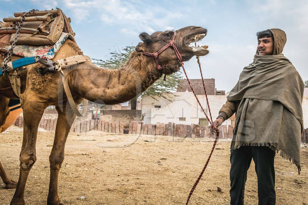Working camel overloaded with large load with man in Bikaner in Rajasthan