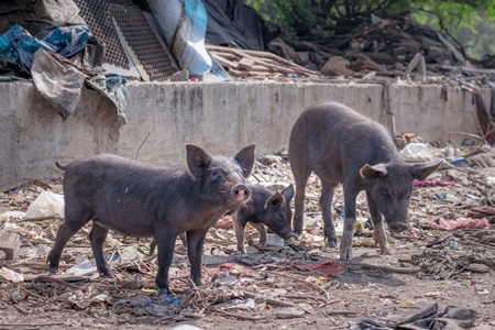 Indian urban or feral pigs and piglets in a slum area in an urban city in Maharashtra in India, 2020