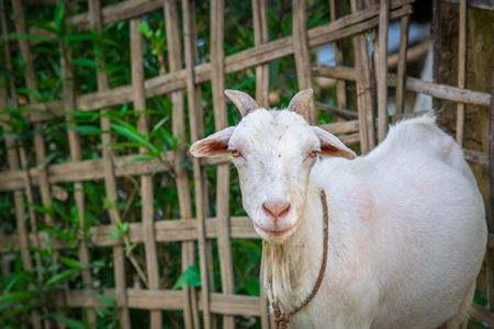 white female farmed Indian goat on rural goat farm in Assam, India