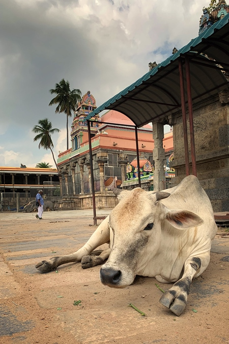 Indian street cow lying on street outside temple in India