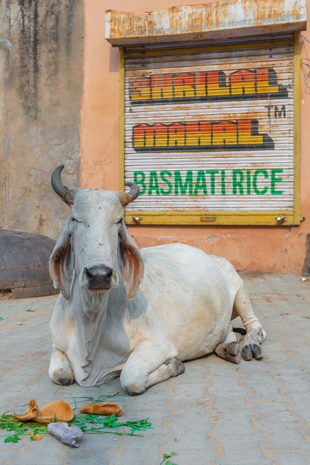 Indian street cow or bullock with large horns sitting on the street in the town of Pushkar in Rajasthan in India with orange background
