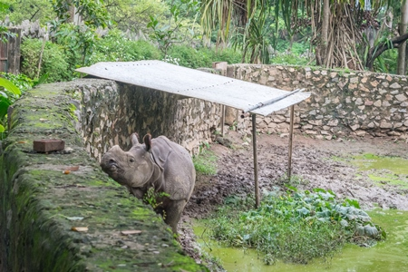 Lonely single male Indian one-horned rhino in a small enclosure at Assam state zoo in Guwahati, India