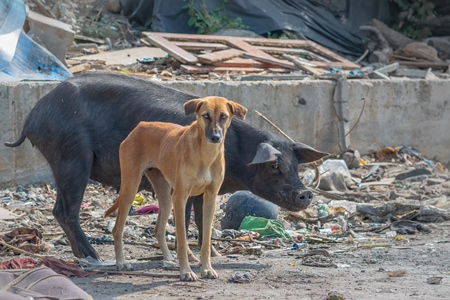 Indian street or stray dog and urban or feral pig in a slum area in an urban city in Maharashtra in India