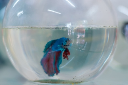 Blue siamese fighting fish or betta fish captive in a fish bowl on sale as pets at a pet shop in a city in Maharashtra, 2020