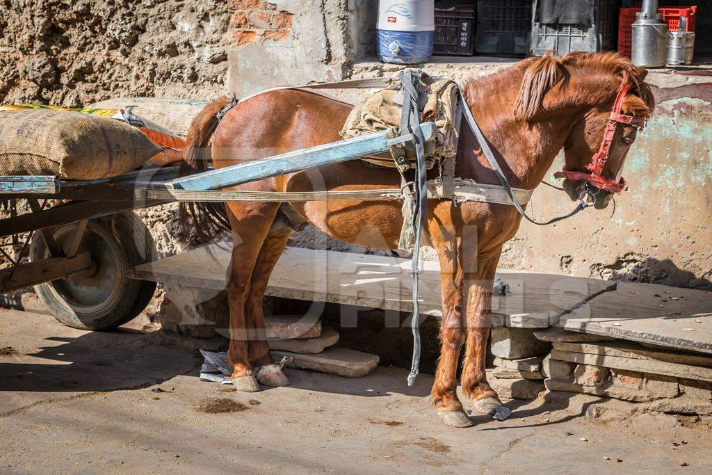 Working brown pony with harness and cart in street in rural village in Rajasthan