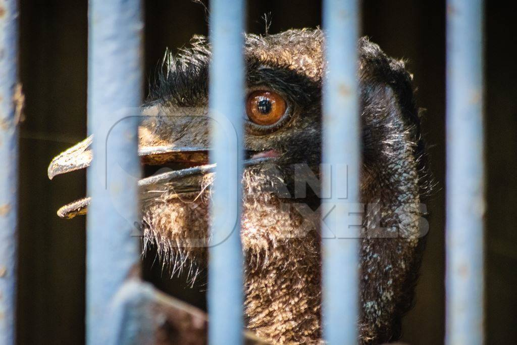 Emu with tattered feathers in dark and dirty cage behind bars in Byculla zoo