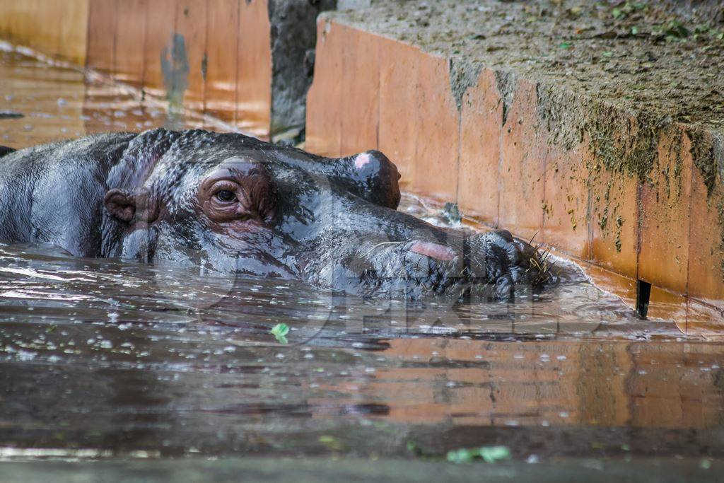 Hippopotamus in a concrete pool in an enclosure in Byculla zoo in Mumba
