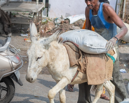 Working donkeys wiht man used for animal labour to carry heavy sacks of cement in an urban city in Maharashtra in India