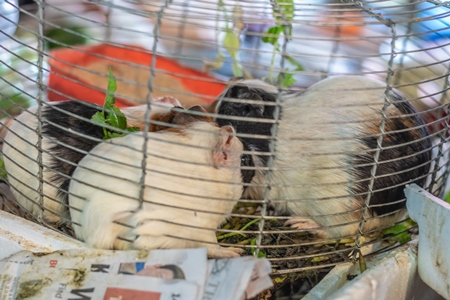 Guinea pigs in a cage on sale at an animal market in Nagaland in the Northeast of India