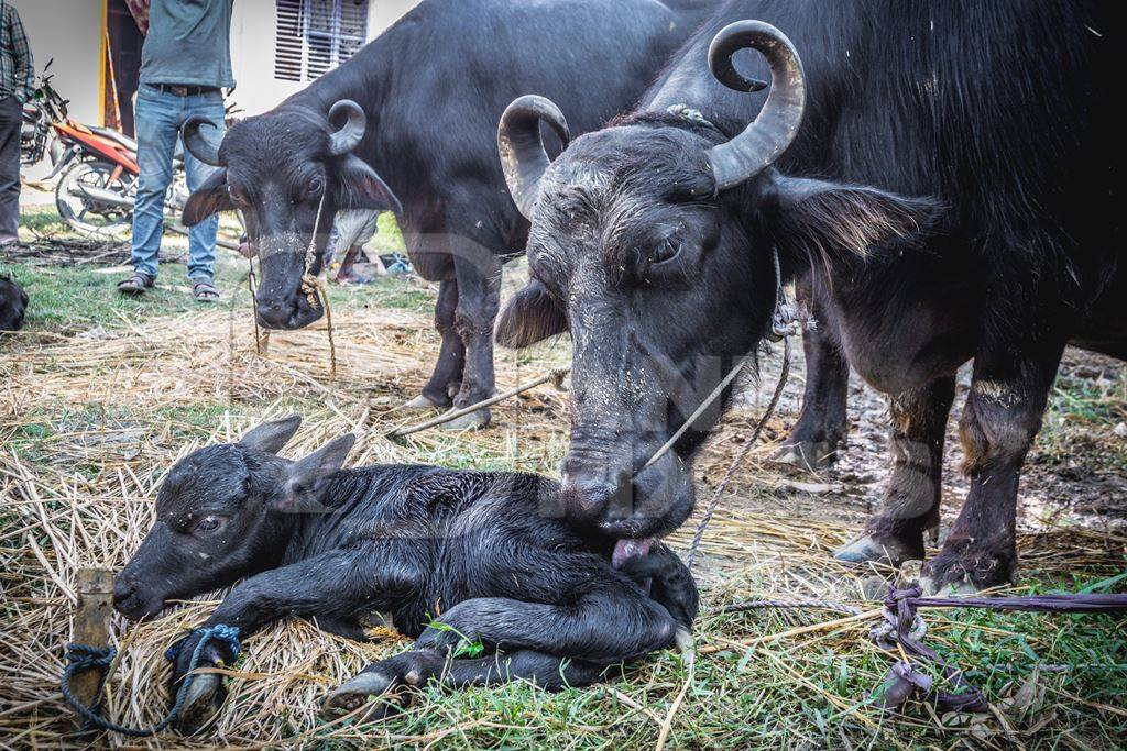 Mother buffalo licking small baby buffalo calf at Sonepur cattle fair
