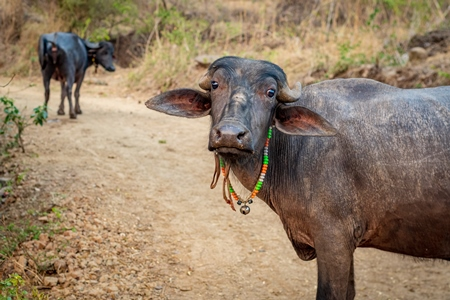 Indian buffaloes from a buffalo dairy farm walking along a path in a village in rural Maharashtra, India